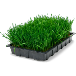 wheatgrass_in_tray