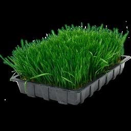 wheatgrass_in_tray